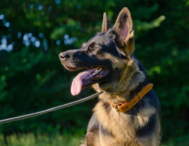Happy german shepherd in the sunlight (with its eyes closed) Premium Photo