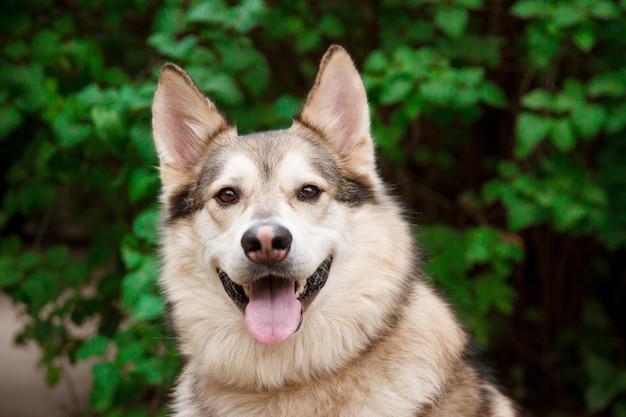 Happy husky portrait on green leaves Premium Photo