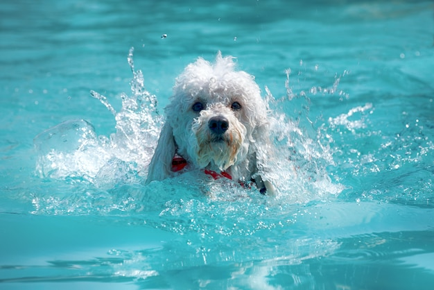 Happy little white poodle swimming in a pool Premium Photo