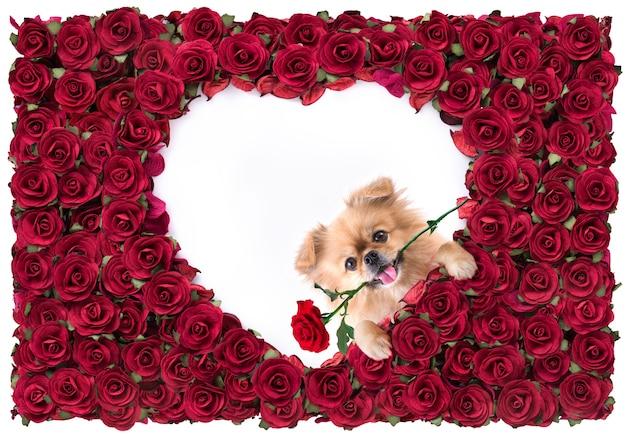 С днем святого валентина форма сердца белая в красном фоне розового красивого и милые щенки померанский шпиц смешанной породы пекинес. Premium Фотографии