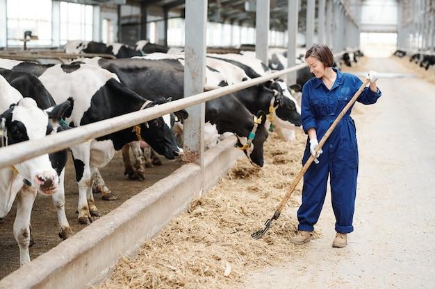 Счастливый молодой фермер или работник современной молочной фермы работает с вилами, стоя рядом с черно-белыми коровами Premium Фотографии