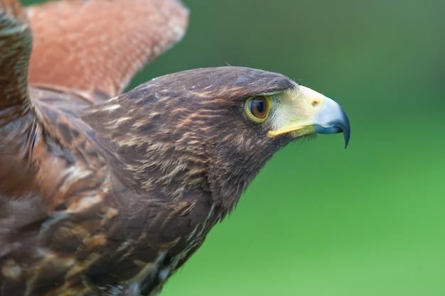 Harris' falcon (parabuteo unicintus) Premium Photo