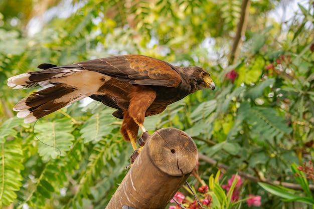 Harris's hawk (parabuteo unicinctus) Premium Photo