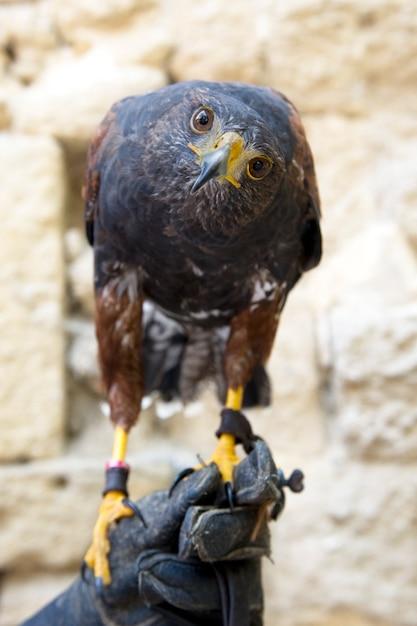 Harris's hawk Premium Photo