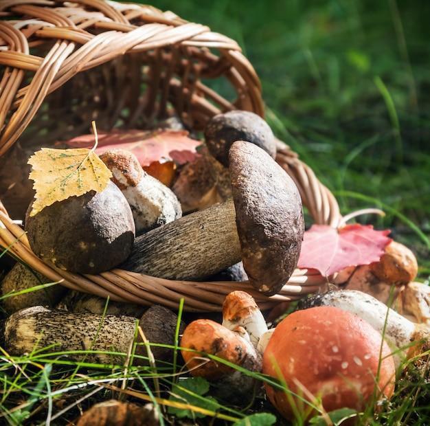 Harvest brown cap boletus in a basket Premium Photo