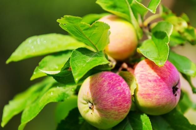 Урожай спелых красных яблок на ветке в саду. Premium Фотографии