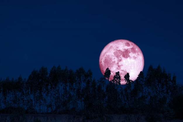 Harvest pink moon on night sky back over silhouette pines tree Premium Photo