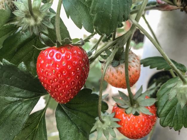 Harvest red strawberry from organic farm Premium Photo