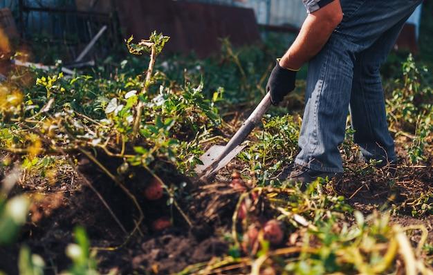 Harvest time . farmer harvesting fresh organic potatoes from soil Premium Photo