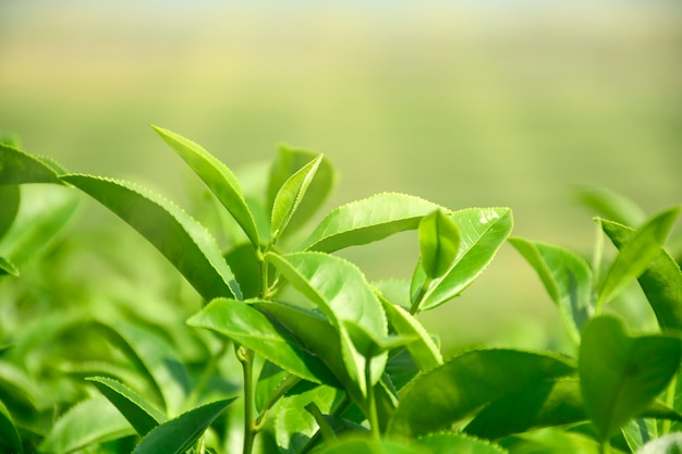 Harvest time with morning light for organic green tea in plantation field. Premium Photo