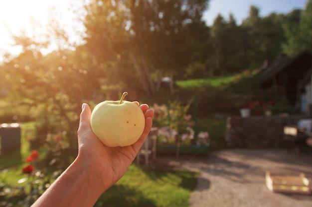収穫:手に白いリンゴ。輸出可能な製品。季節商品の輸入。 Premium写真