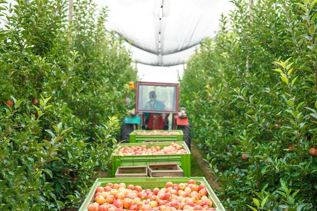 緑の果樹園でリンゴの実を収穫する 無料写真