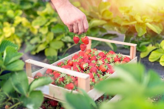 おいしい有機イチゴの果実を収穫する 無料写真