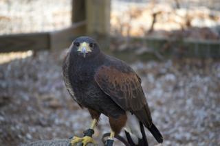 hawk beak hawk feathers Free Photo