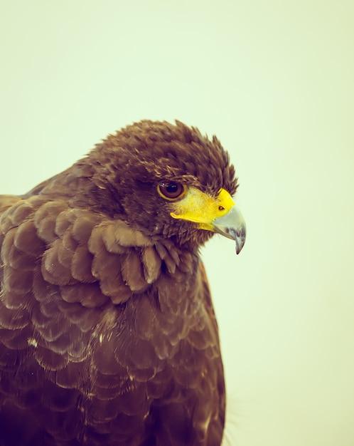 Hawk close up Free Photo