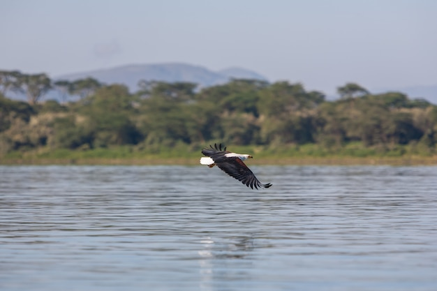 Hawk flying over the water Free Photo