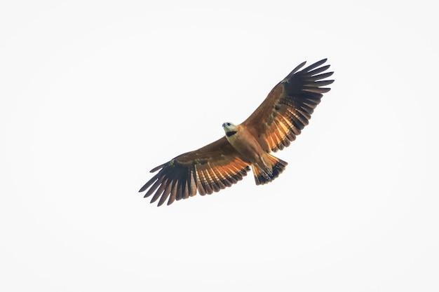 その狩りを求めて飛行中のタカ Premium写真