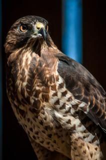 hawk predator raptor Free Photo