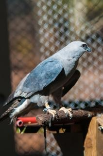 hawk raptor bird feathers predator Free Photo