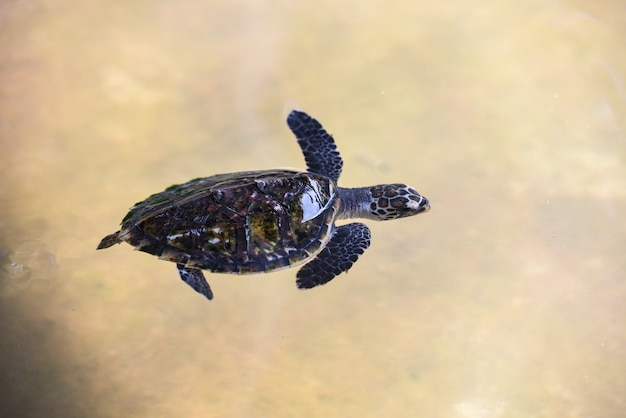 Hawksbill turtle little baby sea turtle swimming on water pond on the farm Premium Photo