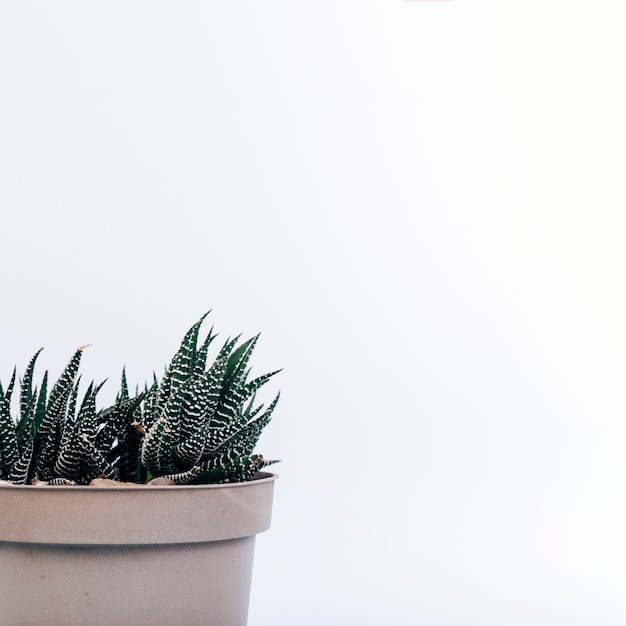 Крупный план растерянного растения в горшке haworthia на белом фоне Бесплатные Фотографии