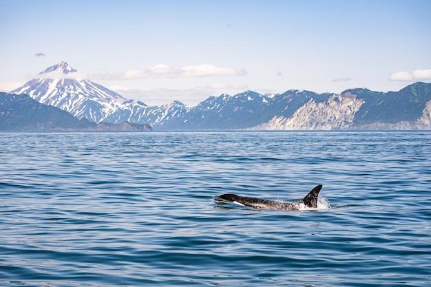 シャチが浮かんでいる海の後ろのaze Premium写真