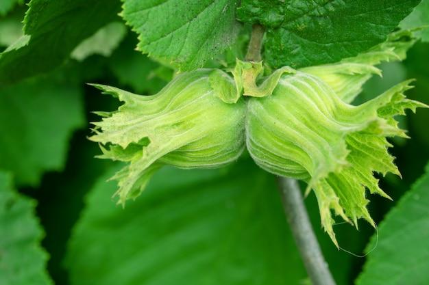 Орех лесной (corylus avellana) дерево Premium Фотографии