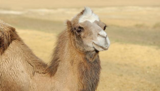 Testa di cammello in un deserto Foto Gratuite