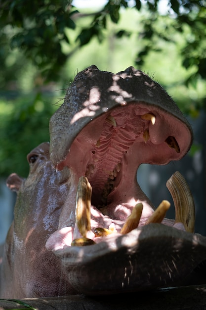 Head of hippopotamus Free Photo