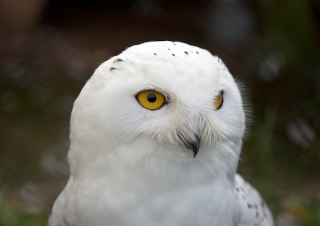 head of white snowy owl photo free download