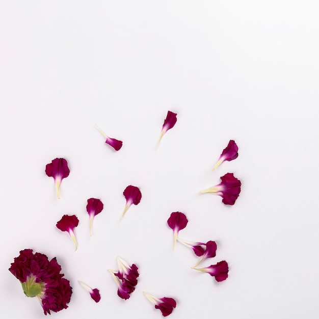 Head and petals of carnation Free Photo