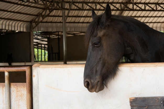 Head portrait of black horse in stable Premium Photo