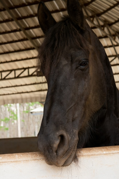 Head portrait of black horse in stable Premium Photo