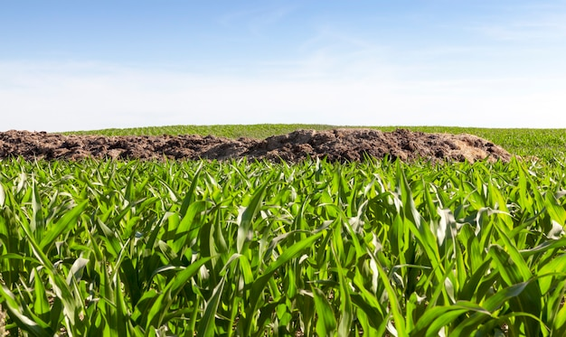 A heap of manure for soil fertilization, lying on the field on which a beautiful green maize grows and grows, the beginning of summer on a farming field Premium Photo