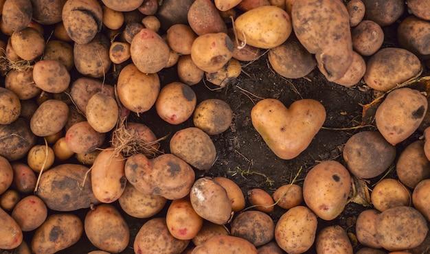 Грязный картофель в форме сердца на растительном коричневом. Premium Фотографии