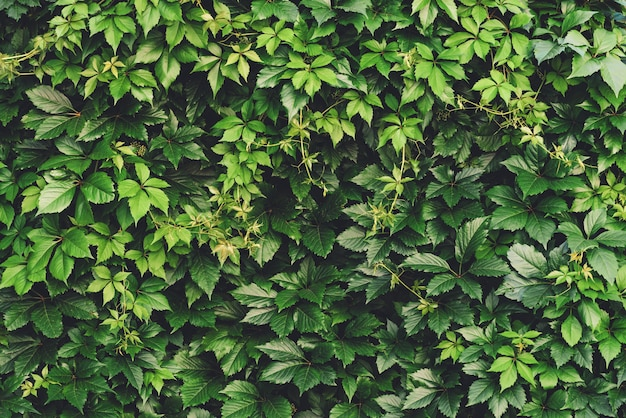 Hedge of big green leaves in spring. green fence of parthenocissus henryana. Premium Photo
