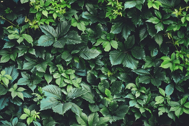 Hedge of big green leaves in spring. Premium Photo