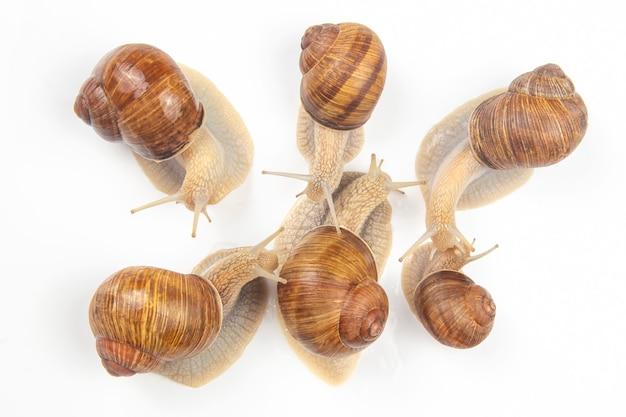 Helix pomatia. grape snail on white Premium Photo