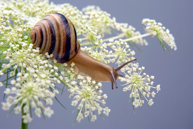 Helix pomatia. little snail crawling on a flower. mollusc and invertebrate. delicacy meat and gourmet food Premium Photo