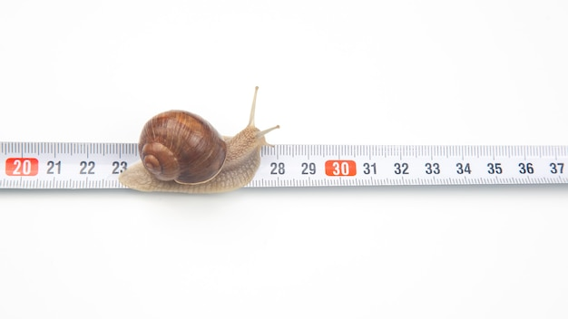 Helix pomatia. the snail crawls along the measuring ruler. mollusc and invertebrate. delicacy meat and gourmet food. Premium Photo