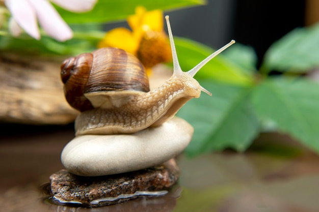 Helix pomatia. snail is actively crawling in nature. mollusc and invertebrate. delicacy meat and gourmet food. Premium Photo