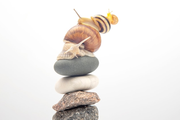 Helix pomatia. snails on top of each other balance on top of a stone pyramid. mollusc and invertebrate. delicacy meat and gourmet food Premium Photo