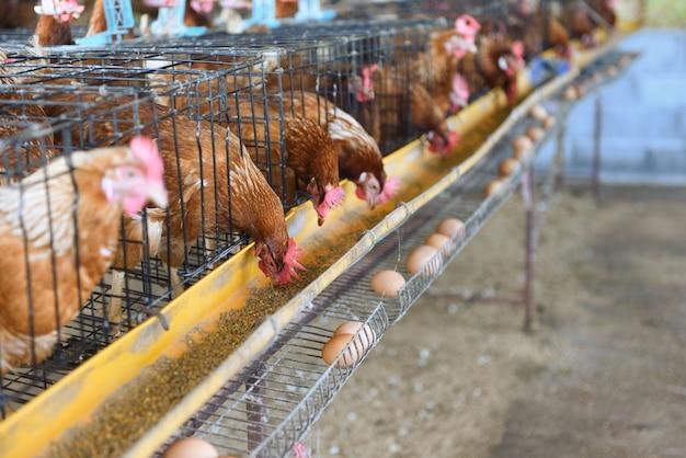 Hen in cage Premium Photo