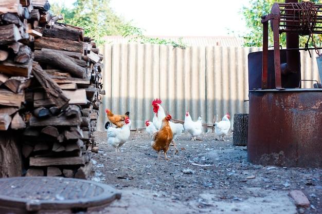 가금류 사육을위한 농장의 마당, 마당 주변을 걷는 암탉 프리미엄 사진