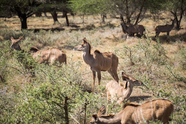 A herd of african deers in the wild. mauritius. Premium Photo