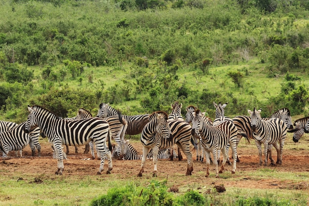 Mandria di belle zebre sui campi coperti di erba vicino a una collina nella foresta Foto Gratuite