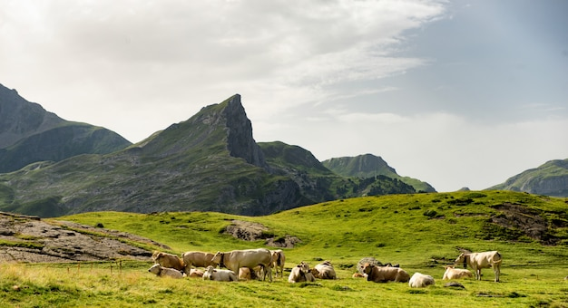 Herd of cows in the alpine pastures Premium Photo