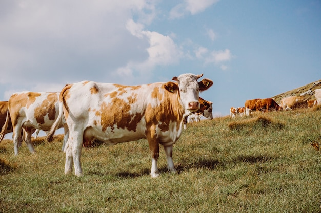 Herd of cows. cows on the field. Premium Photo
