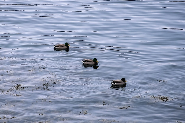 Herd of dabbling duck orderly floating in coastline Premium Photo