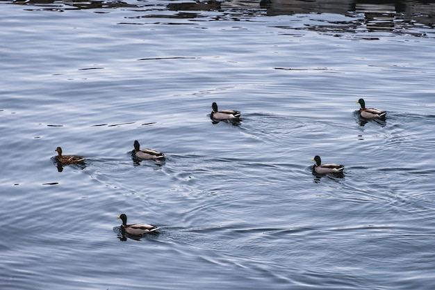 Herd of dabbling duck orderly floating in coastline Premium Photo